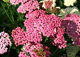 David's Garden Seeds Flower Achillea Yarrow Cerise Queen DW114 (Pink) 500 Heirloom Seeds