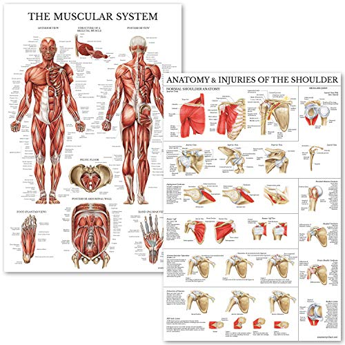 Muscular System & Shoulder Anatomy Poster Set - Laminated Anatomical Muscle and Shoulder Charts - 2 Poster Set
