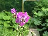 4 Bare Root of Geranium Phaeum 'Alec's Pink'
