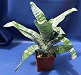 "Shoppy Star Germination Seeds: AECHMEA FASCIATA in A 5"" Pot, BROMELIAD Plant"
