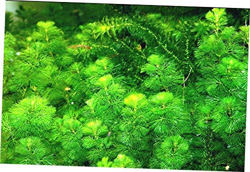 - EFRESH Aquarium Plants Cabomba Caroliniana Fanwort Tropical Live Plants Bunch - EB143
