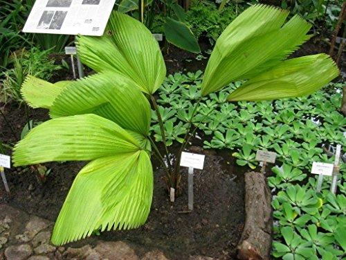 (Go Garden Licuala Grandis - Ruffled Fan Palm - 10 Seeds)