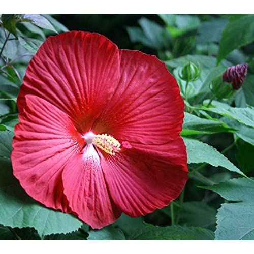 Cinnamon Grappa Giant Hibiscus Rose Mallow Perennial - Huge Flowers - Gallon Pot