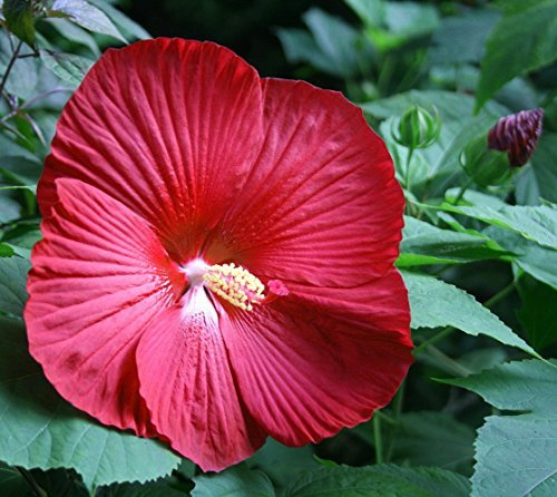 - Cinnamon Grappa Giant Hibiscus Rose Mallow Perennial - Live Plant - Gallon Pot