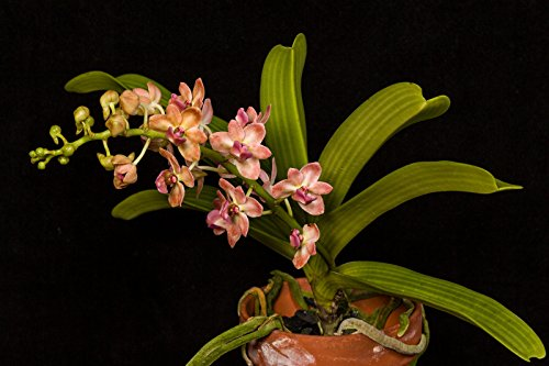 Rhy. gigantea 'Peach' NEW! Collectors item! Very Fragrant! Foxtail Orchid plant