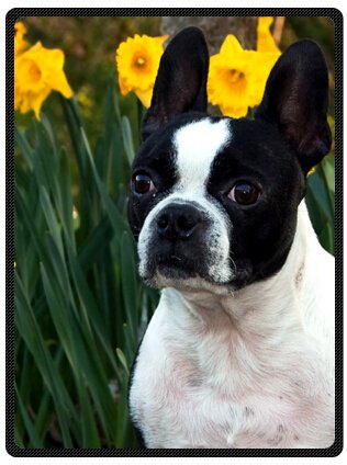 Hot Sell Super Soft Purebred Cute Boston Terrier Blanket 58
