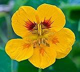 100 gram Seeds Yellow Nasturtium Tropaeolum Canary Creeper Canarybird Mashua