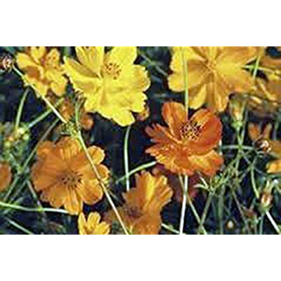 Bright Lights Cosmos 100+ Seeds Organic Newly Harvested, Beautiful Bright Flower : Garden & Outdoor