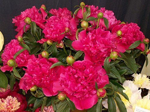 2 General Macmahon Peony - Peonies - 3-5 Eyes - Established Perennial - Each 1 Gal by Growers Solution by BGBULBS