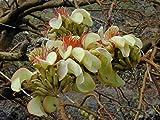 Adenanthera pavonina | False Wiliwili | Red-Bead Tree | 10_Seeds
