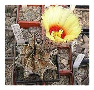 Astrophytum capricorne v. major - Cacti - 15 semillas