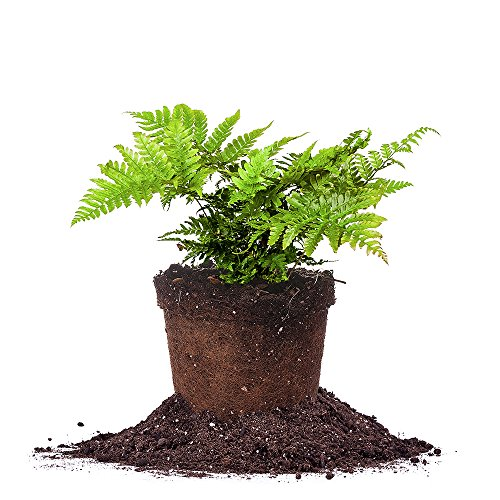 Nice DRYOPTERIS AUTUMN FERN - Size: 1 Gallon, live plant, includes special blend fertilizer & planting guide for sale