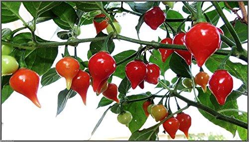 Seeds 20 Pepper (Chupetinha Pepper (20 seed)Biquinho Ardida (ardida means