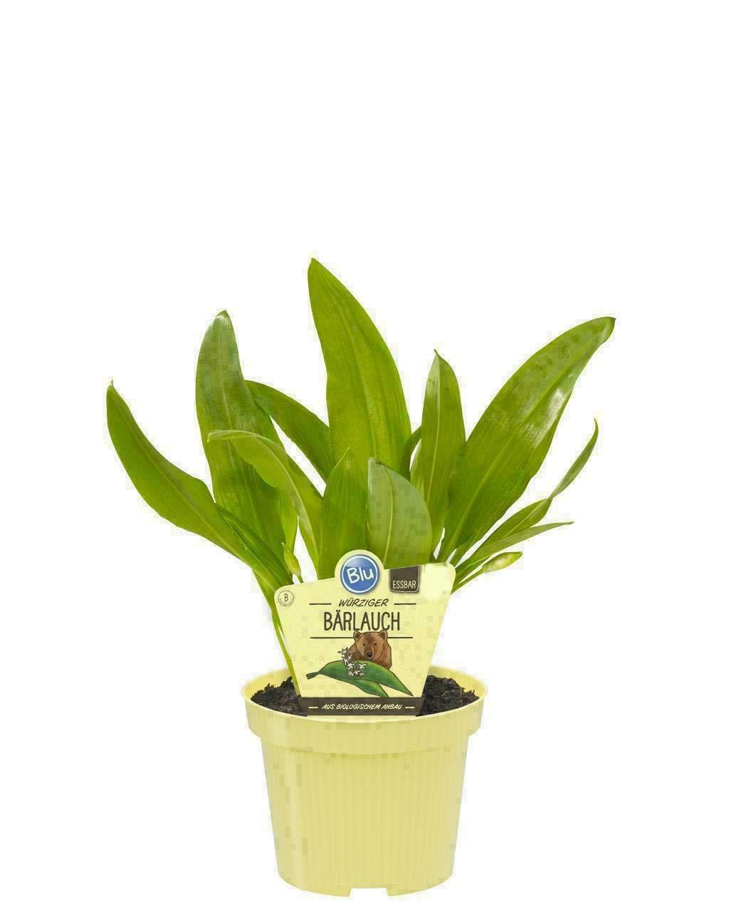 2 Pflanzen B/ärlauch;Gew/ürzpflanze,kr/äftige Pflanzen ohne Kunstd/ünger,12er Topf