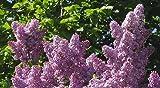 Purple Lilac 25 Seeds - Syringa vulgaris - Shrub/Tree