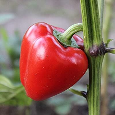 Mini Bell Red Sweet Pepper Garden Seeds - 500 Seeds - Non-GMO Vegetable Gardening Seeds