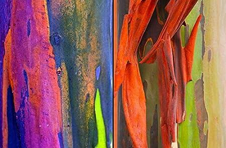 Eucalyptus Bark Wood Flowers in Summer 50 Rainbow Seeds Outdoor Bonsai Plant