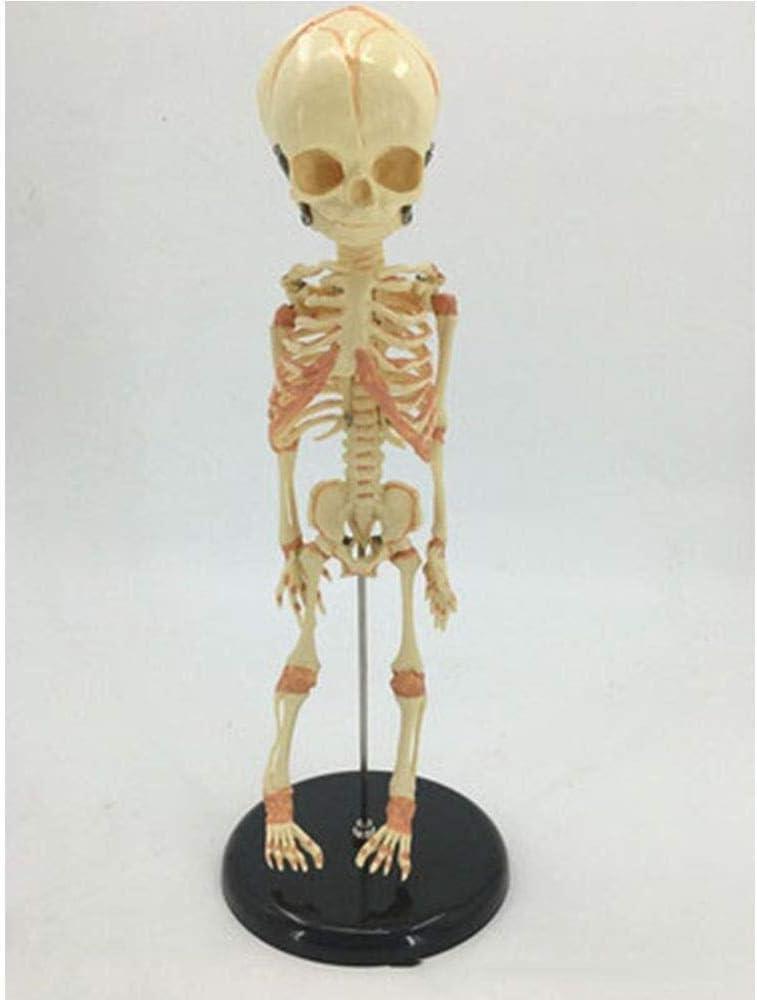 Mr.T Divida la anatomía Infantil for niños Modelo del esqueleto, esqueleto humano Modelo de bebé Ortopédica spine Educación médica