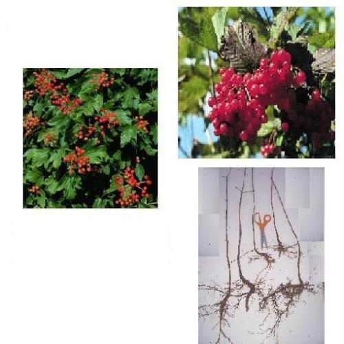 American Cranberry Bush - Fast Growing Shrub, Flowering - Plan for Spring Cranberry Bush