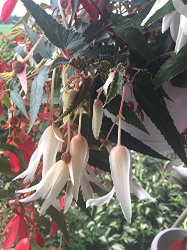 "20""Ivory Falls"" Tuberous Begonia Seeds"