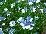 50 BLUE & WHITE Nemesia Strumosa Flower Seeds