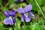 Ambrosial - Fragrances of Heaven Violet Leaf Essential Oil (Viola Odorata) 100% Pure & Natural - 10Ml