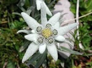 50+ Edelweiss Ground Cover / Perennial Flower Seeds