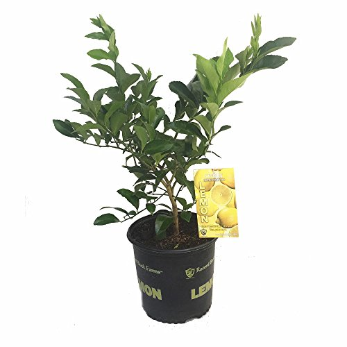 Meyer Lemon Tree - Fruiting Size/Branched Tree -8