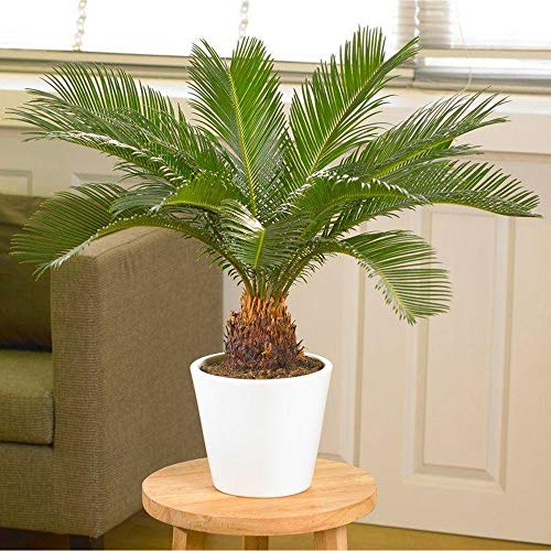 "AMERICAN PLANT EXCHANGE King Sago Palm Tree Live Plant, 6"" Pot, Indoor/Outdoor Air Purifier"