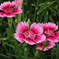 Dianthus Sweet William Flower Seed 40+ Plant Mix Non-GMO Flower Seeds Dianthus barbatus