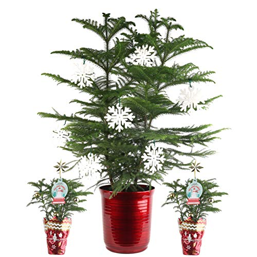 Costa Farms Live Christmas Tree, Three-Pack bundle, Ships One 3-FT Christmas Tree and Two 12-IN Christmas Trees, Decorated, Great as Holiday Gift or Christmas Decoration, Fresh From Our Farm