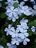 Gifts Delight Laminated 24x32 inches Poster: Flowers Cape Europaea Flower Light Blue Plumbago Auriculata Plumbago Capensis Thunb Auriculata Plumbago Ornamental Plant Blue Stalk Plant