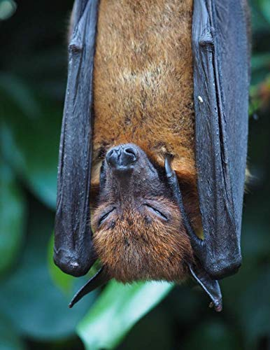 (Notebook: Flying fox mammal vampire bat bats fruit mammals vampires fruity black brown flying)