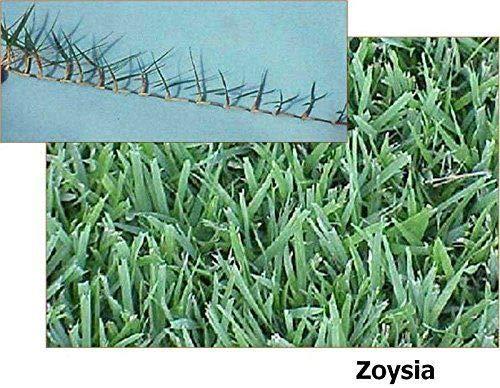 El Toro Zoysia (Zoysia El Toro) Grass seeds-1/8 lb