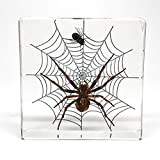 Orb Weaver Spider & Fly in Lucite - 158.7 Grams
