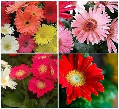 20 Gerbera Daisy Mix California Giant Annual Flower (Gerbera Daisies 20 Stems)