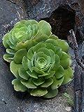 Home Comforts Laminated Poster Aeonium Haworthii Succulent Plant Leaves Aeonium Poster Print 24 x 36