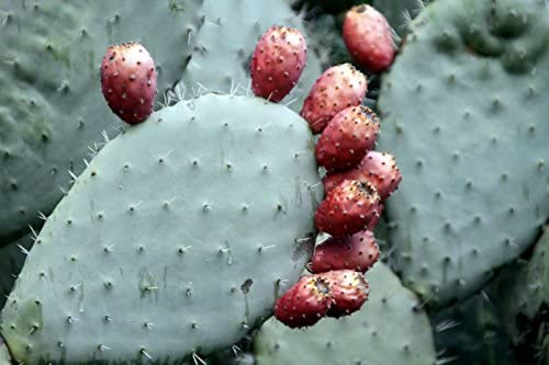 3 Pads Spineless Thornless Edible Nopales Prickly Pear Cactus New Health Food