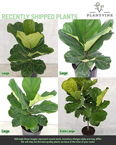PlantVine Ficus lyrata, Fiddle Leaf Fig - XL (4-5ft), Bush - 12-14 Inch Pot (7 Gallon), Live Indoor Plant by PlantVine (Image #5)