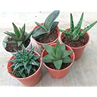 CAPPL Exotic Succulents Plants, Echieveria and Others Qty: 5 Live Succulent
