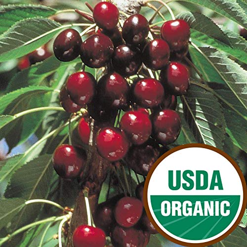 Stella Organic Sweet Cherry Semi-Dwarf -Ships 3-4' Tall and/or with a 3/8