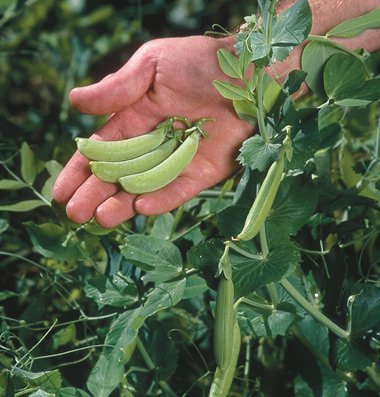 David's Garden Seeds Pea Sugar Ann D559A (Green) 200 Heirloom Seeds
