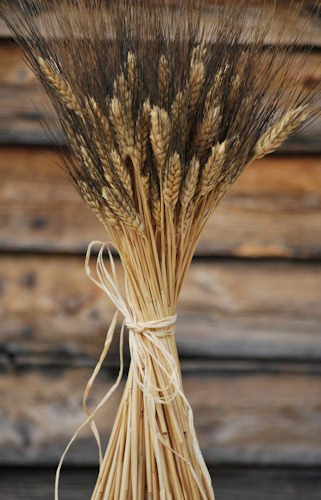Blackbeard Wheat Bunch - 8oz, 40-60 stems Decorative Wheat Bundles -- Long stem single bunch