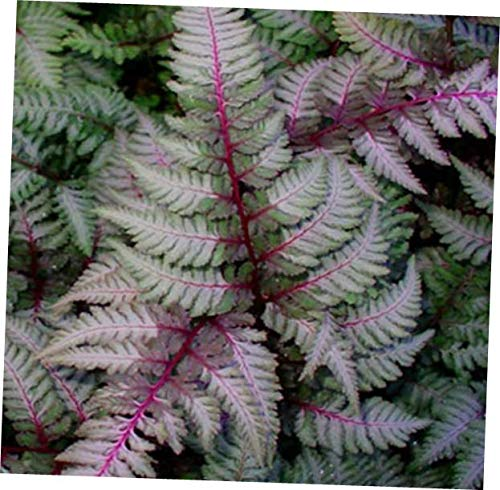VERR Japanese Painted Fern - Shade Lover - Hardy - 4 inch Cup - RK255 (1 ()