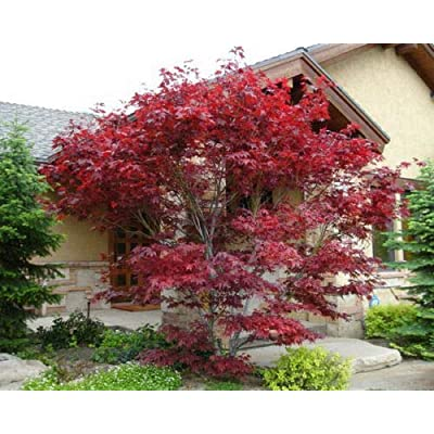 AchmadAnam - Live Plant Japanese Red Maple Tree - 1 Foot Tall in Trade Gallon pots - Ready to Plant : Garden & Outdoor
