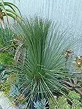 Mexican Grass Tree aka Dasylirion longissima Live Plant Fit 1 Gallon Pot