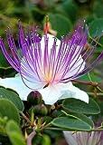 Tropica - Erbe - Vero cappero (Capparis spinosa) - 25 semi