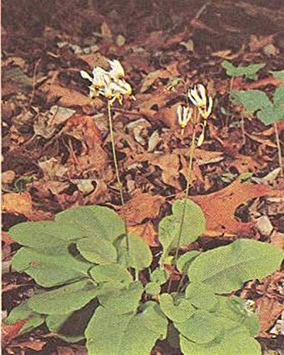 (Dodecatheon Media Shooting Star Perennial Seeds)