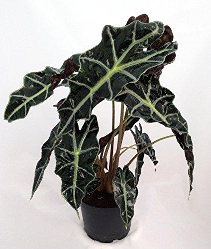 Amazon Black Shield Plant - Alocasia Polly - Live Houseplant - Clean Air! by Florida Foliage (Image #1)'