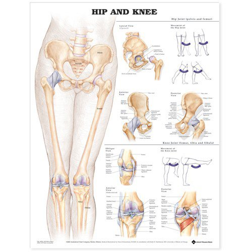 Hip and Knee Anatomical Chart - Physical Therapy Poster Shopping Results